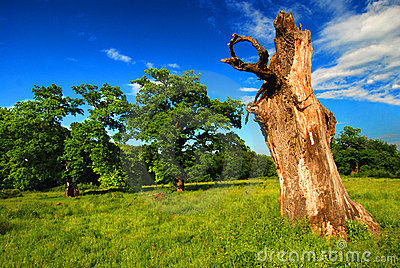 Old Tree in a Pasture
