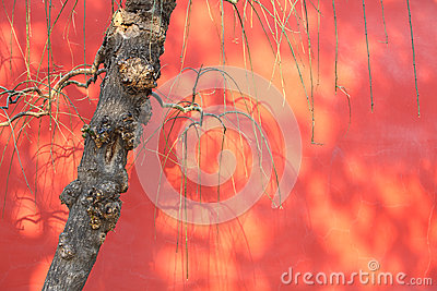 Old tree with red wall