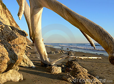 Old tree trunks at beach