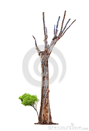 Old tree on white background