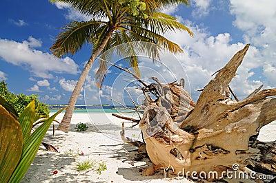 Old tree on wild beach