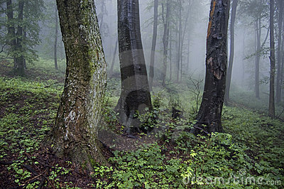 Old trees in a foggy forest
