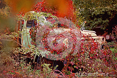 Old truck overgrown red wild grapes