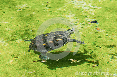 Old turtle swim on water