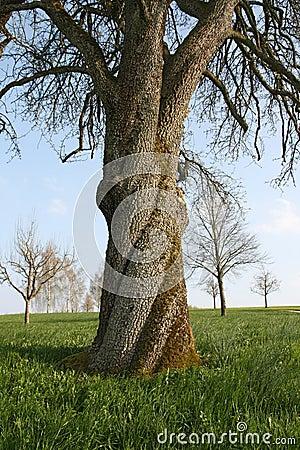 An old walnut tree