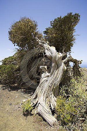 Free Old Wind Shaped Juniper Tree Royalty Free Stock Photos - 5672118
