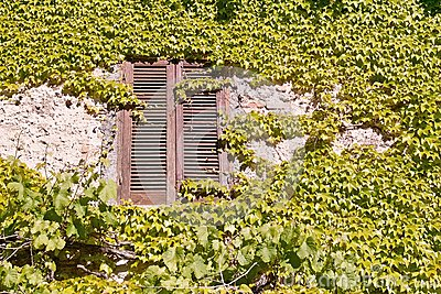 Old window surrounded by creepers