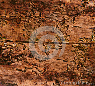 Old wood texture, aged background by bark beetle