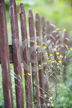 Old wooden fence and yellow flowers