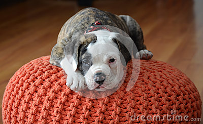 Olde English Bulldog puppy