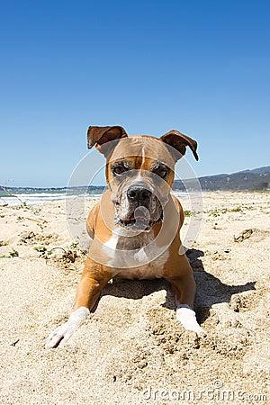 Older Boxer Dog Beach
