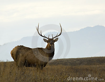 Older Male Elk Large Rack Montana