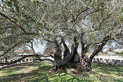 The oldest olive tree (Europe)called Stara Maslina