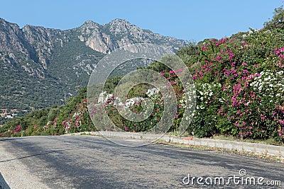 Oleander along a road