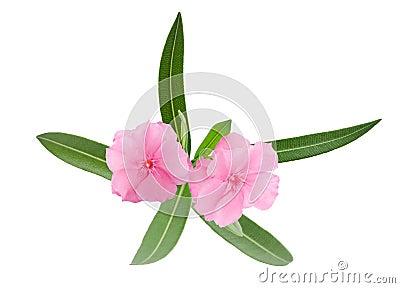 Oleander branch