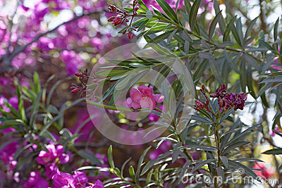 Oleander in flower