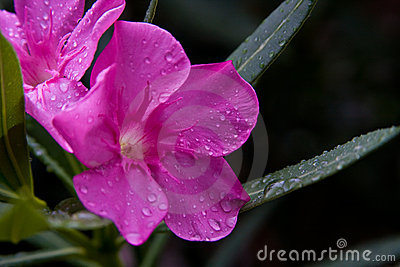 Oleander Flower Toxic Beauty