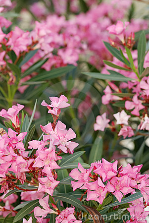 Free Oleander Flowers Royalty Free Stock Photography - 5652217