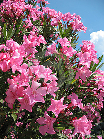 Free Oleander Flowers Stock Images - 5747534