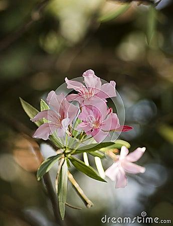 Oleander heights