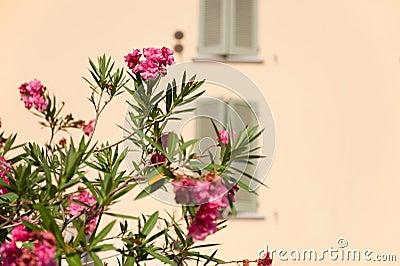 Oleander in Italië