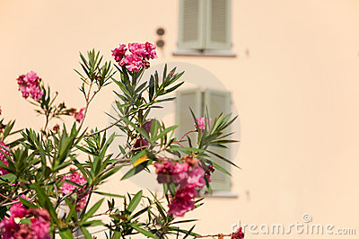 Oleander in Italy