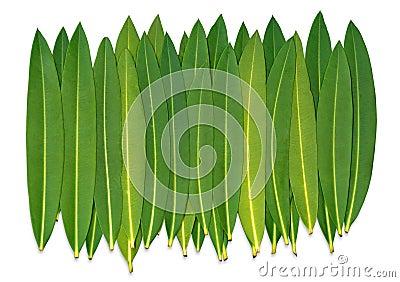 Oleander Leafs