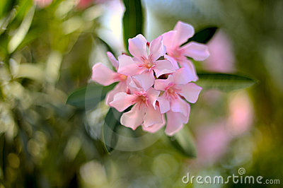 Oleander nerium