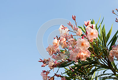 Oleander pink flower