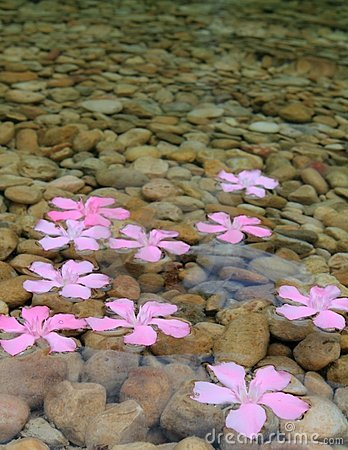 Oleander pink flowers floating in freshwater