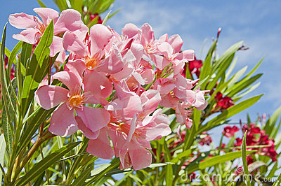 Oleander pink and red