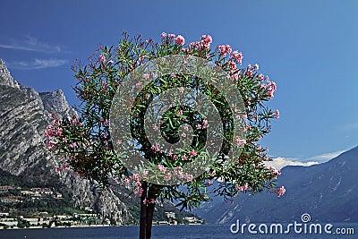 Oleander tree (Nerium oleander) Lake Garda