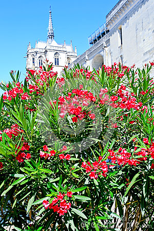Oleander tree and palace on background