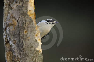 Olhar Downy do Woodpecker