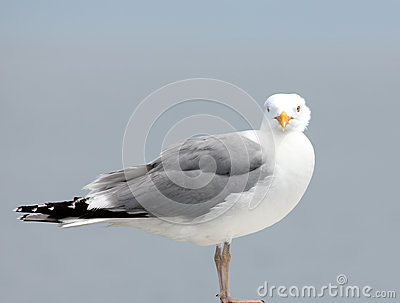 Olhar fixamente da gaivota