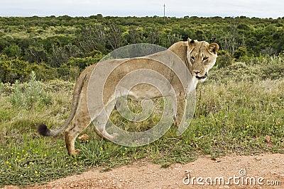 Olhar fixamente da leoa