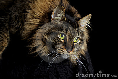 Olhar fixamente do gato