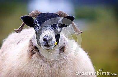 Olhar fixamente dos carneiros