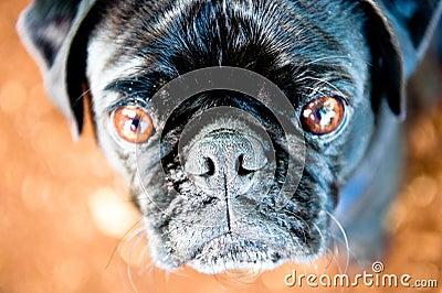 Olhar fixo do Pug