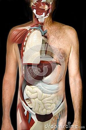 Olhe o corpo humano interno