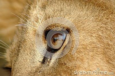 Olho do leão