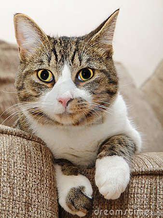 Olhos grandes da face do gato