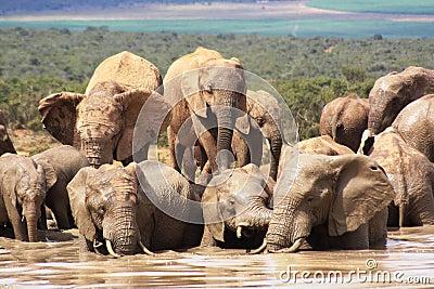 Olifanten die nat en modderig worden
