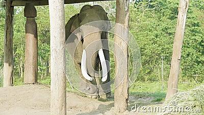 Olifants witk grote slagtanden in het landbouwbedrijf van nationaal park Chitwan, Nepal stock footage