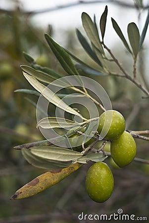 Oliv förgrena sig på