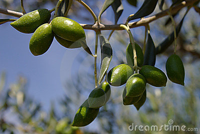 Olive branch on a background of the blue sky.