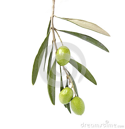 Olive on branch