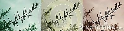 Olive Branch Variations