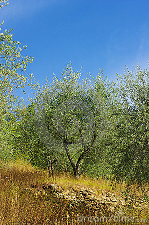 Olive grove in corsica
