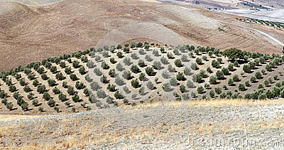 Olive grove and dry fields